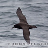 White-chinned Petrel off San Mateo, CA