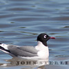 Franklin's Gull; Napa, 4 April 2011