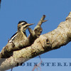 Yellow-bellied Sapsucker, adult female, Fortuna, Humboldt County, 15 December 2015