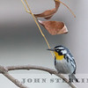 Yellow-throated Warbler; Cathedral City, Riverside County; 14 January 2015 found few days before by Dan Cooper