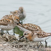 Red-necked Stint, Richmond WTP, Contra Costa County; 21 July 2014; found by Logan Kahle on the evening before, first county record