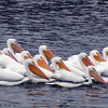 White Pelicans at Clear Lake, Lake County