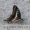 Dark Kite-Swallowtail