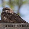 Lesser Nighthawk; Salton Sea, Imperial County; 20 May 2015