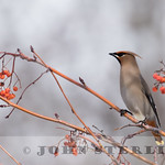 Bohemian Waxwing; Mt. Shasta City, Siskiyou County; Feb 2017