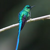 Long-tailed Sylph male at Km. 18 on Buenaventura Hwy near Cali, Colombia