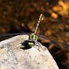 Bison Snaketail